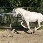 White Arabian Horse Mare Running Free And Ready To Jump Stock Photo Picture And Royalty Free Image Image 532236