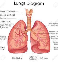 medical education chart of biology for lungs diagram vector illustration stock vector 79651312 [ 1300 x 1299 Pixel ]