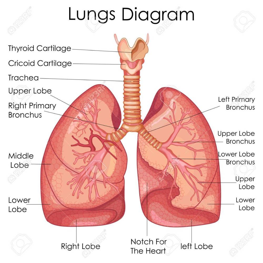 medium resolution of medical education chart of biology for lungs diagram vector illustration stock vector 79651312