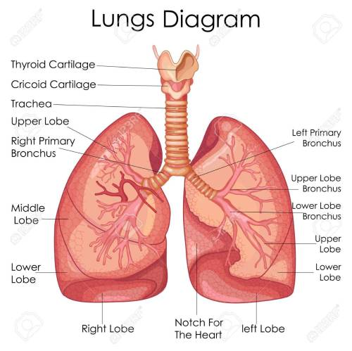 small resolution of medical education chart of biology for lungs diagram vector illustration stock vector 79651312