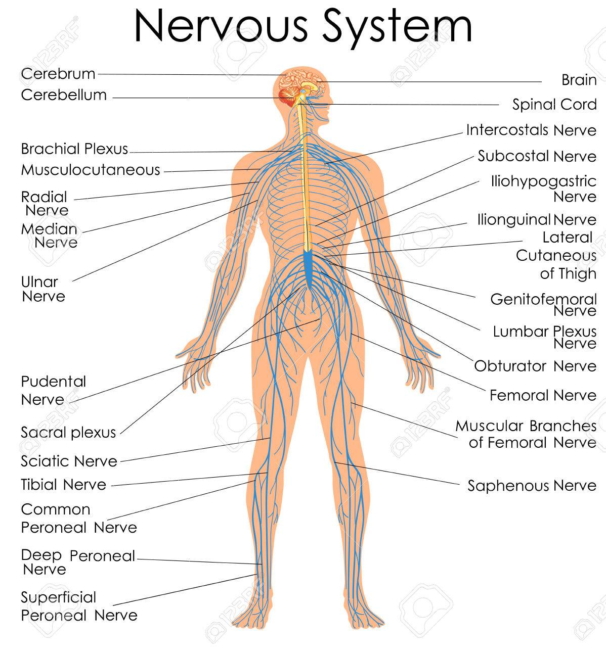 hight resolution of medical education chart of biology for nervous system diagram vector illustration stock vector 79651319