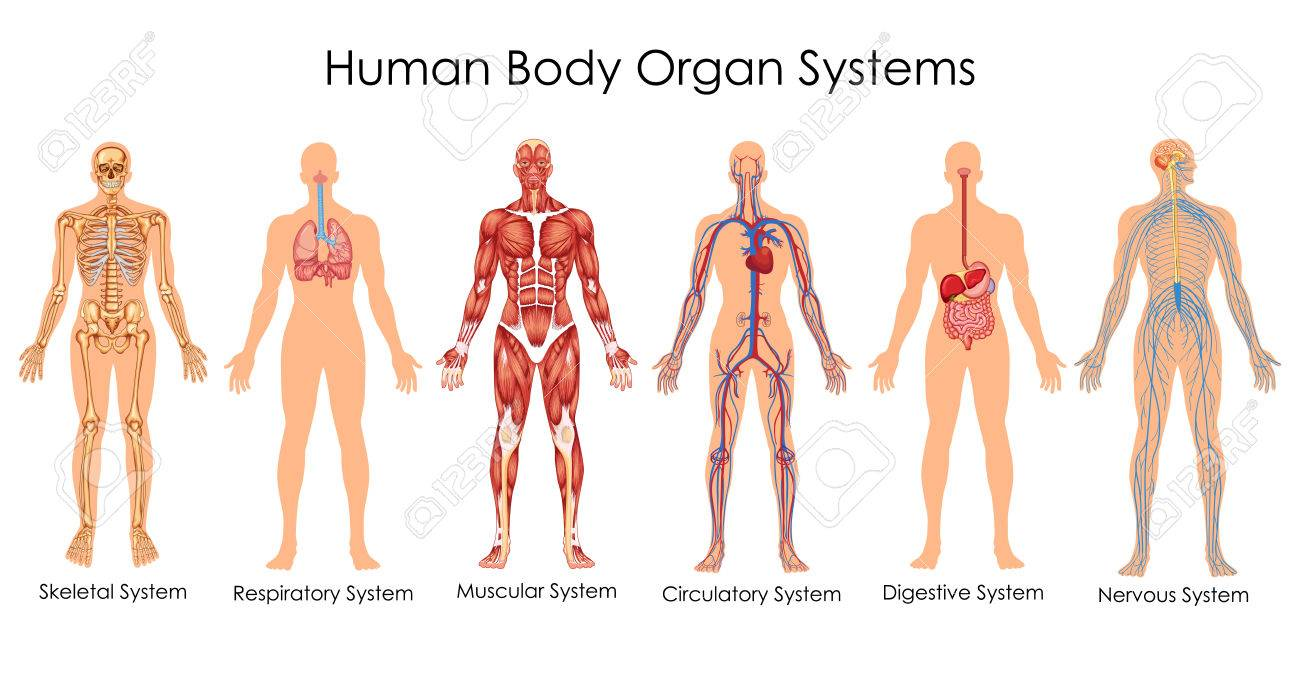 hight resolution of medical education chart of biology for human body organ system diagram of the body system diagram of the body system