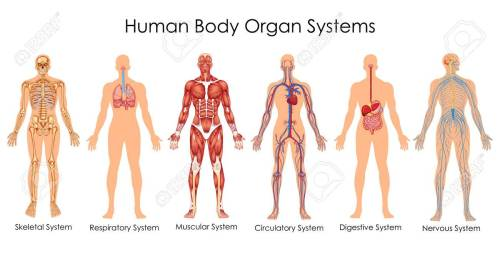small resolution of medical education chart of biology for human body organ system diagram vector illustration stock vector