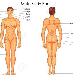 medical education chart of biology for male body parts diagram vector illustration stock vector  [ 1300 x 974 Pixel ]