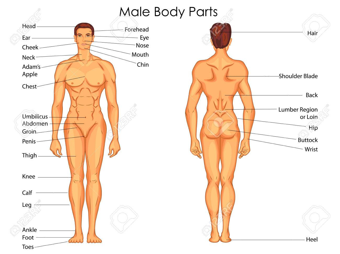 Medical Education Chart Of Biology For Male Body Parts Diagram Royalty Free Cliparts Vectors And Stock Illustration Image 79651341