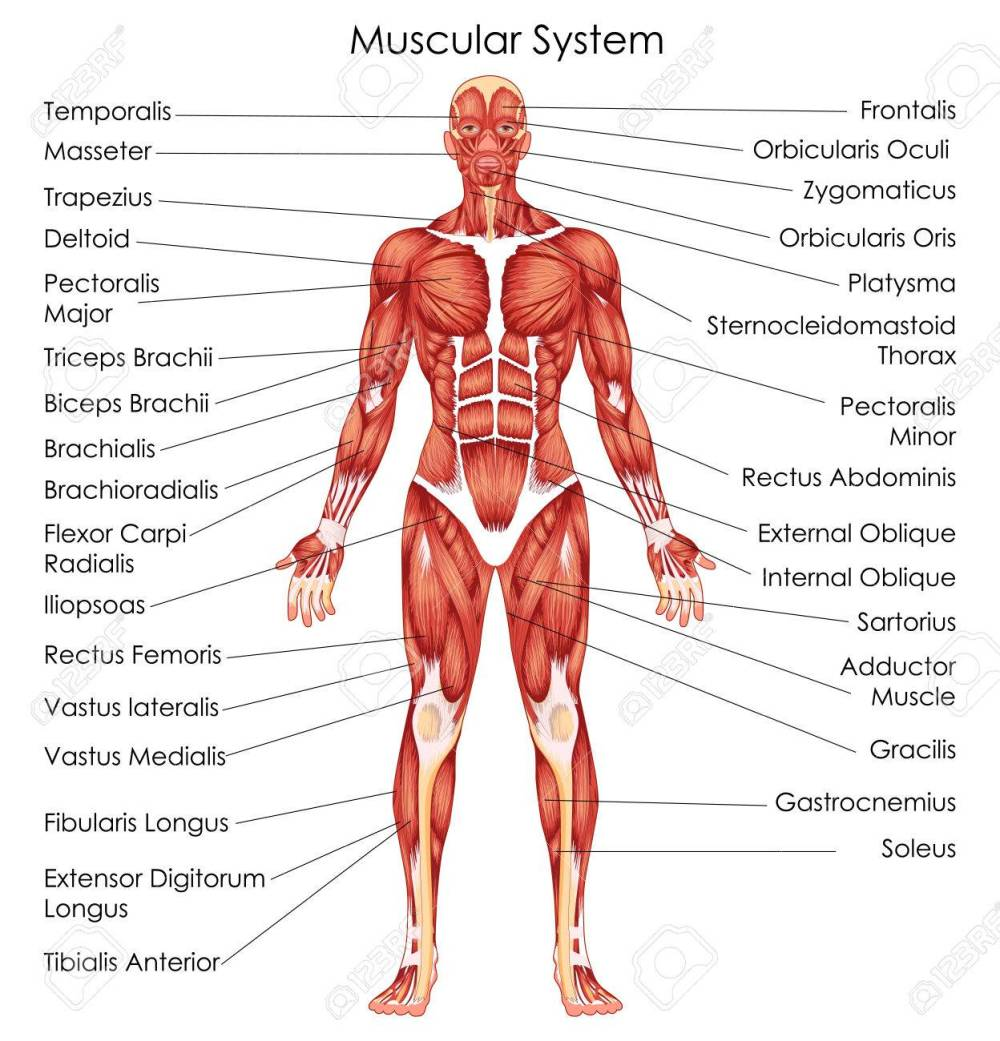 medium resolution of medical education chart of biology for muscular system diagram vector illustration stock vector 79651340