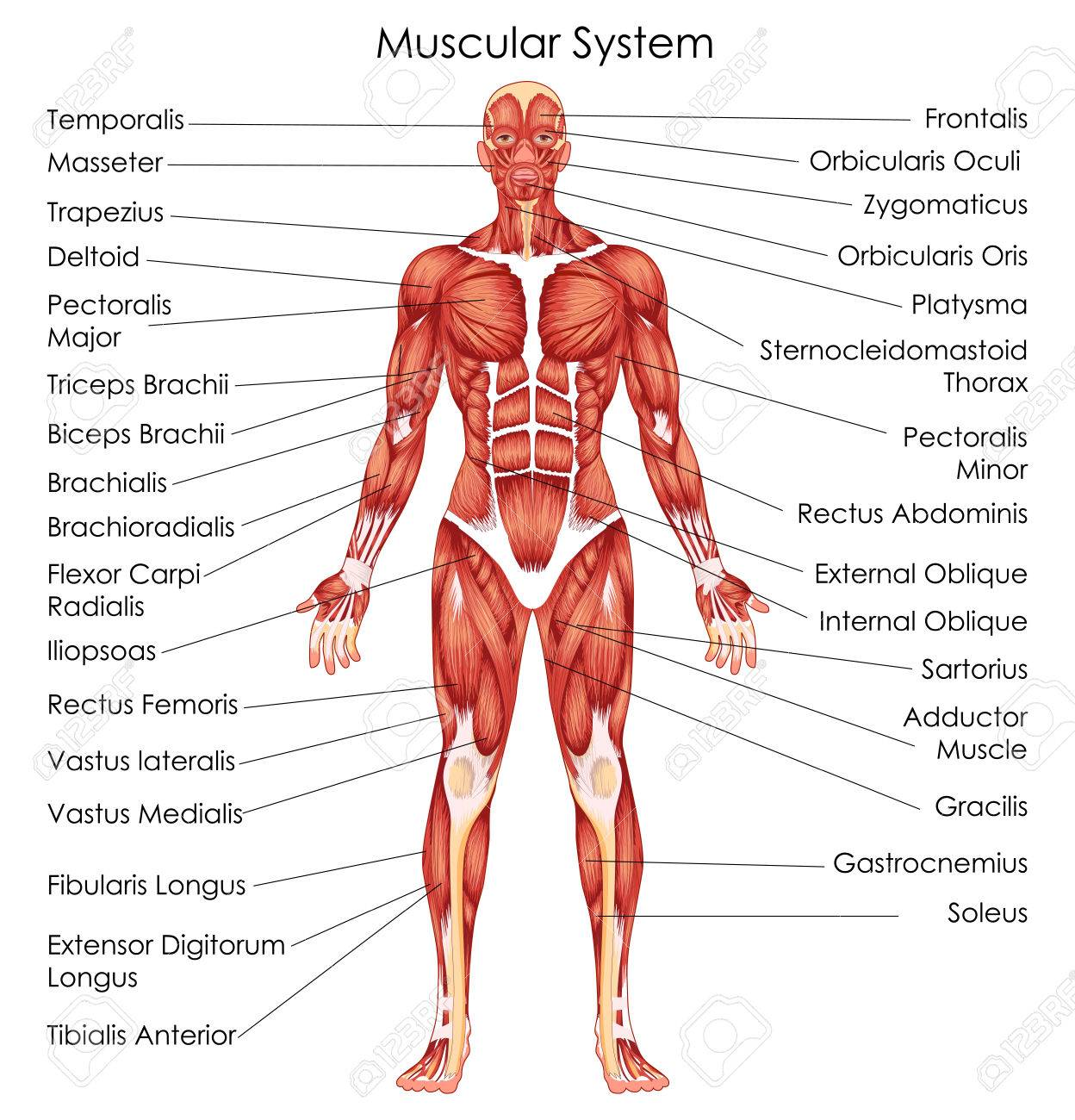 hight resolution of medical education chart of biology for muscular system diagram vector illustration stock vector 79651340