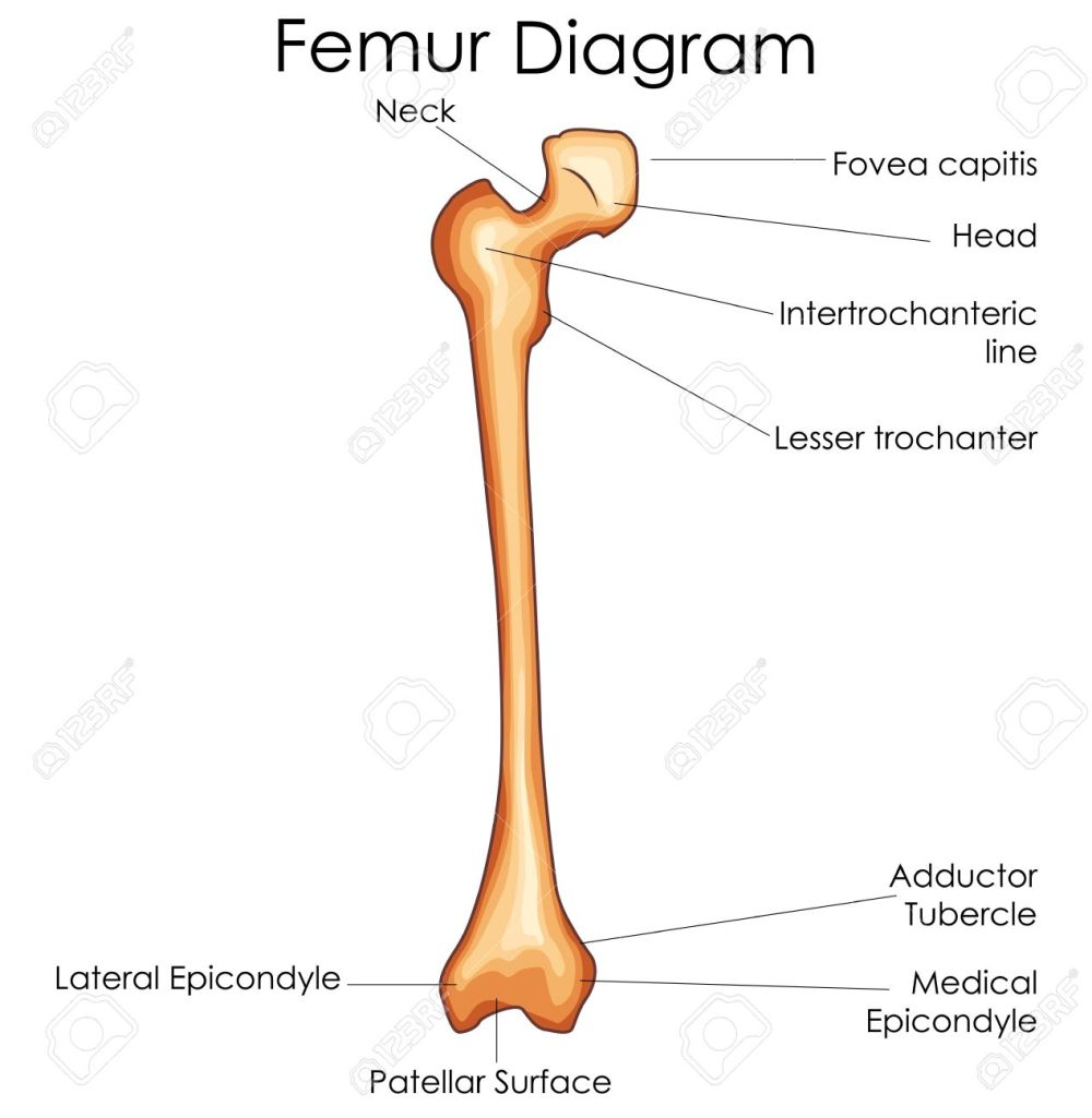 medium resolution of medical education chart of biology for femur bone diagram vector diagram of femur and tibia diagram of femur
