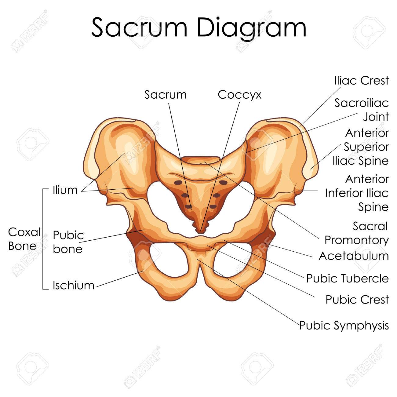 hight resolution of medical education chart of biology for sacrum diagram vector illustration stock vector 79651354
