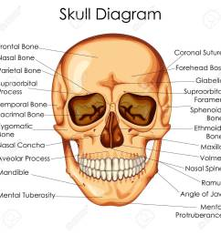 medical education chart of biology for human skull diagram vector illustration stock vector 79651586 [ 1300 x 1299 Pixel ]