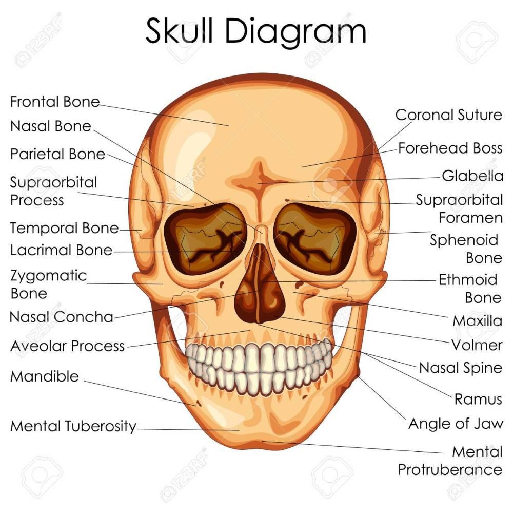 medium resolution of medical education chart of biology for human skull diagram vector human skull diagram blank human skull diagram