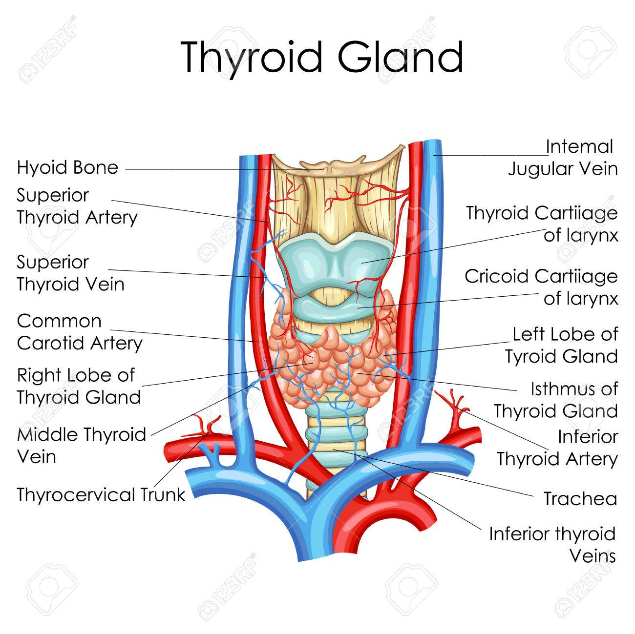 hight resolution of medical education chart of biology for thyroid gland diagram vector illustration stock vector 79651713