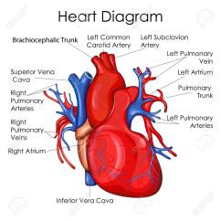 Interior Heart Diagram Wiring 3 Way Switch Schematic Medical Education Chart Of Biology For Vector