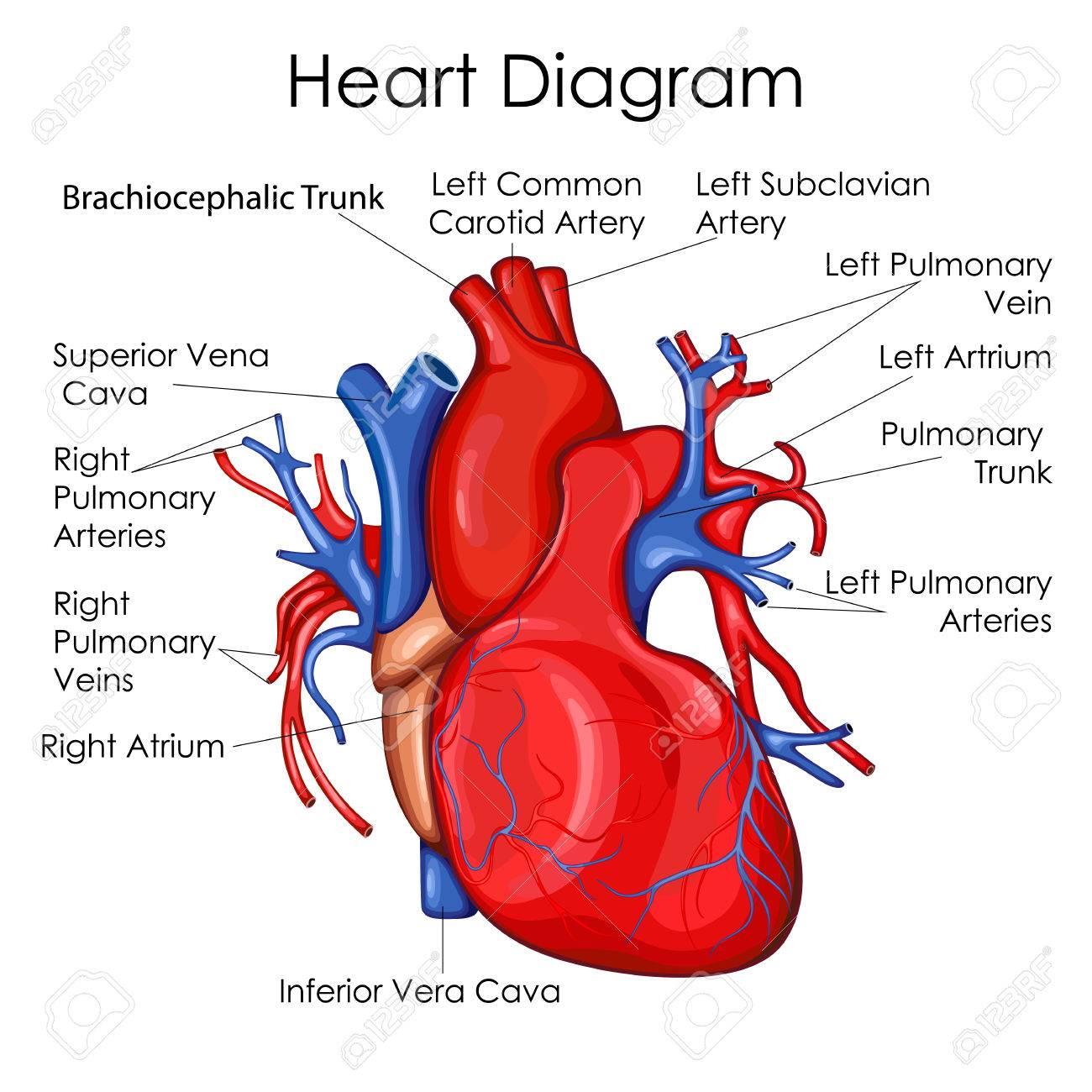 hight resolution of medical education chart of biology for heart diagram vector illustration stock vector 79651874