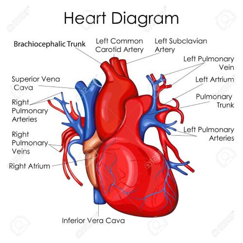 small resolution of medical education chart of biology for heart diagram vector illustration stock vector 79651874
