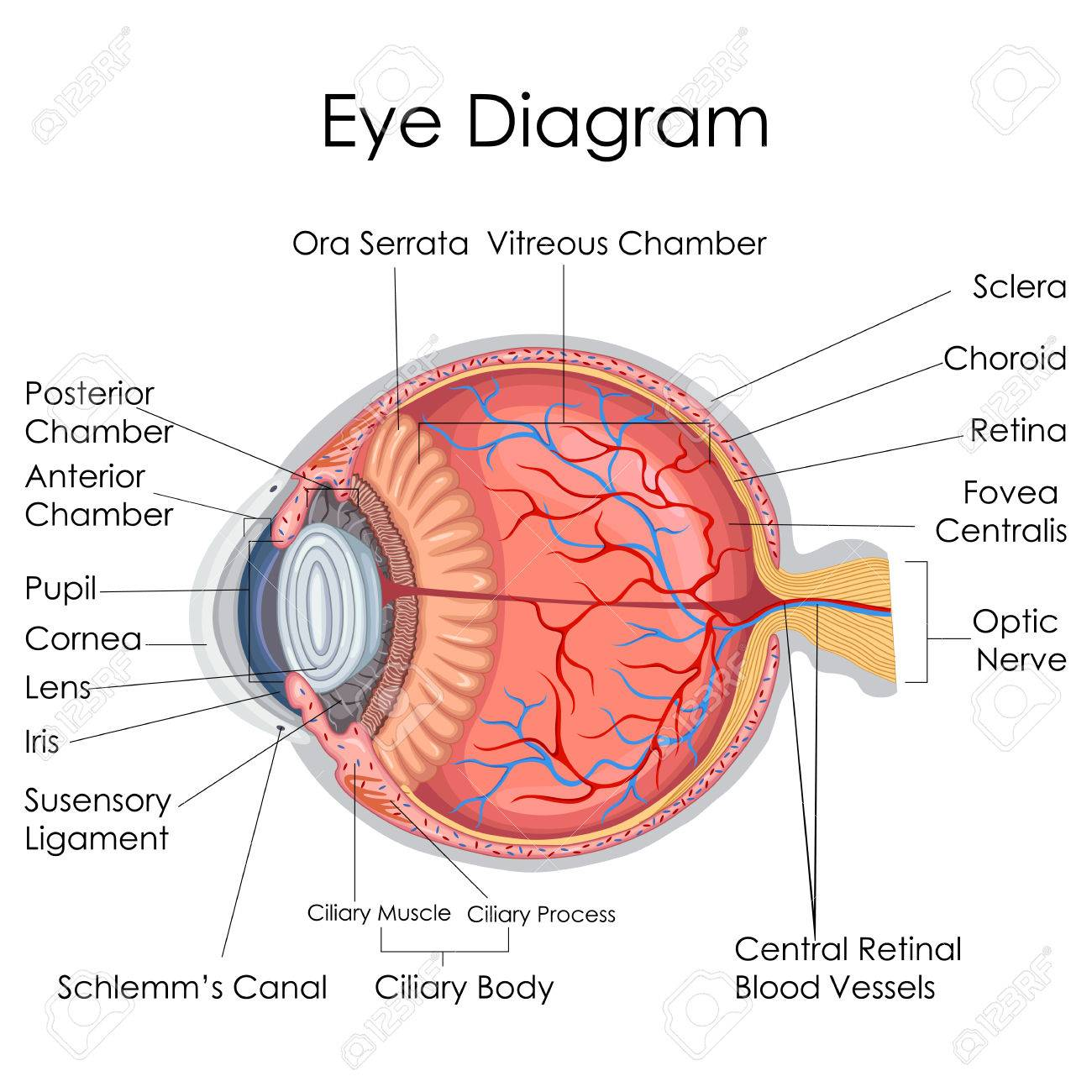 human eye diagram simple roller shutter door motor wiring of best library medical education chart biology for internal