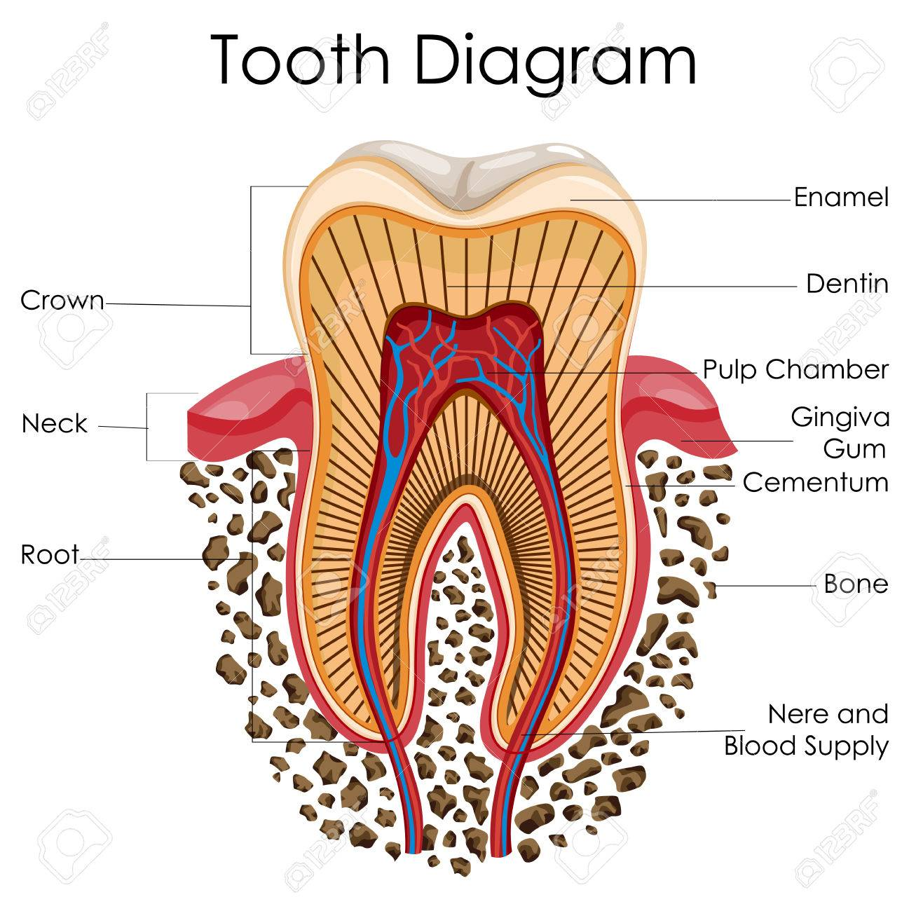 hight resolution of medical education chart of biology for tooth anatomy diagram stock vector 79719060
