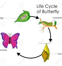 education chart of biology for life cycle of butterfly diagram stock vector 80712823 [ 1300 x 1300 Pixel ]