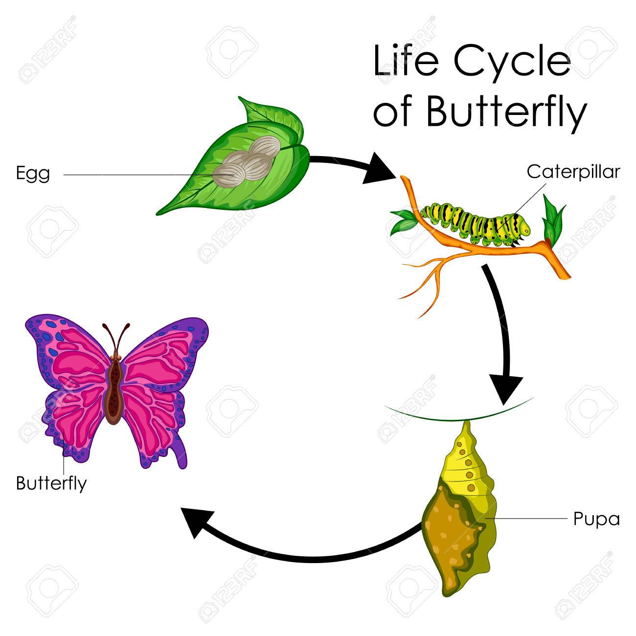 hight resolution of education chart of biology for life cycle of butterfly diagram stock vector 80712823