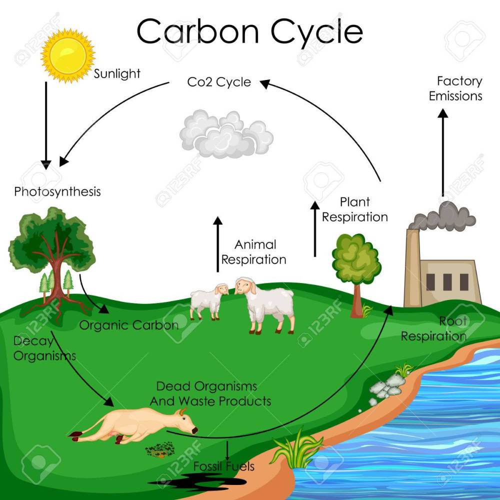 medium resolution of carbon cycle diagram