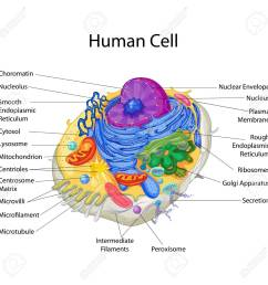 diagram of a human cell wiring diagrams scematic rh 24 jessicadonath de animal cell diagram worksheet blank human cell structure [ 1300 x 1300 Pixel ]