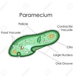 education chart of biology for paramecium diagram stock photo 80713892 [ 1300 x 1300 Pixel ]