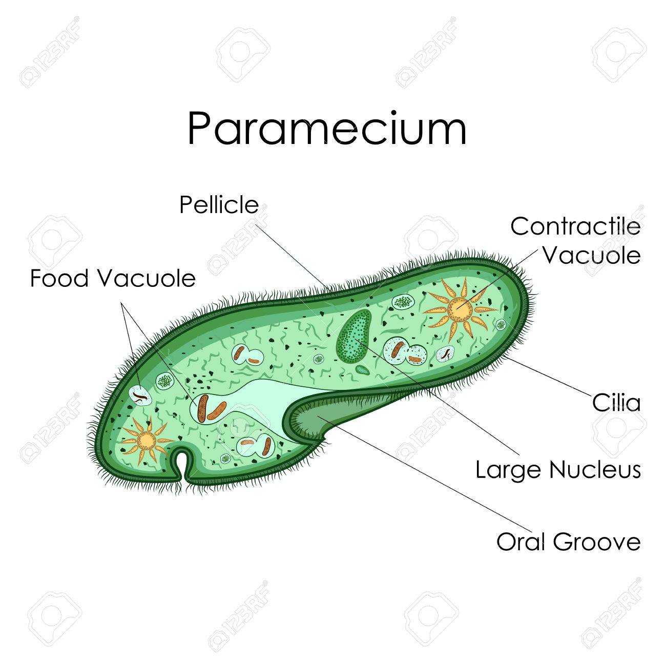 hight resolution of education chart of biology for paramecium diagram stock photo 80713892