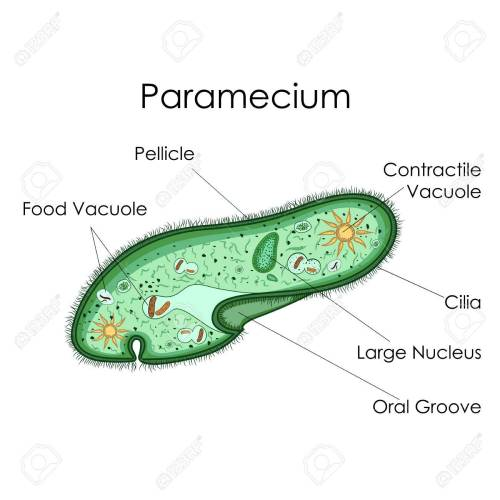 small resolution of education chart of biology for paramecium diagram stock photo 80713892