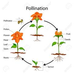 Cross Pollination Diagram For Kids 2005 Nissan Altima Radio Wiring Of Diagrams Education Chart Biology Process Stock Rh 123rf Com Different Types Pollinators