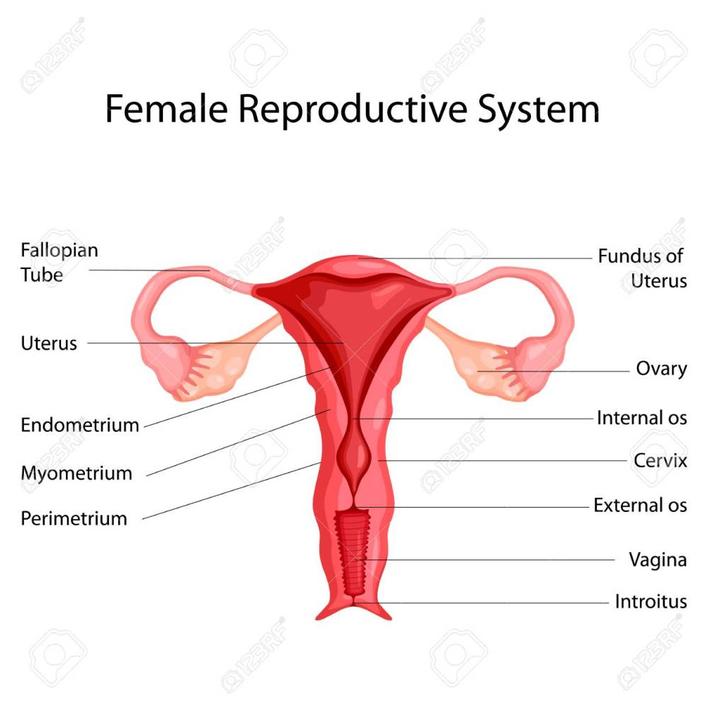 medium resolution of education chart of biology for female reproductive system diagram vector illustration stock vector 98443438