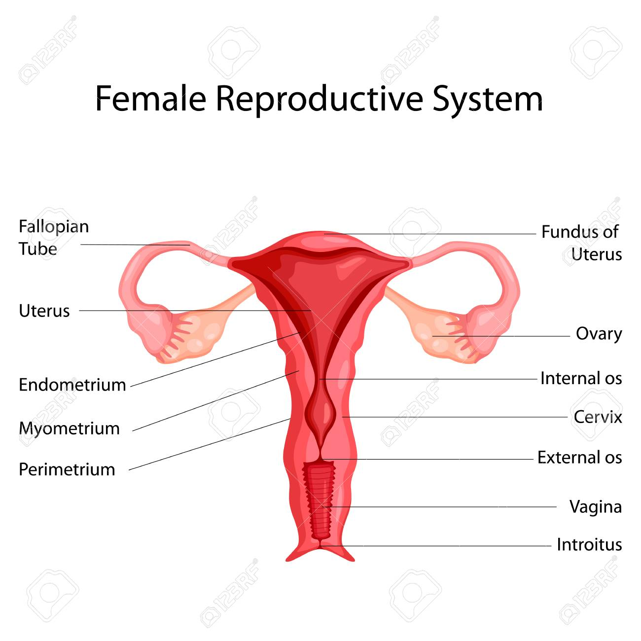 hight resolution of education chart of biology for female reproductive system diagram vector illustration stock vector 98443438