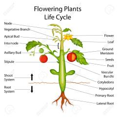 Parts Of A Flowering Plant Diagram Traxxas E Revo Brushless For Plants Wiring All Data Education Chart Biology Royalty Diagrams Veg