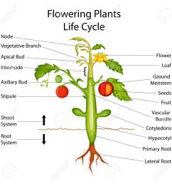 herbaceous stem diagram on wiring diagramherbaceous plant diagram wiring diagram herbaceous monocot dicot stems to label [ 1300 x 1300 Pixel ]