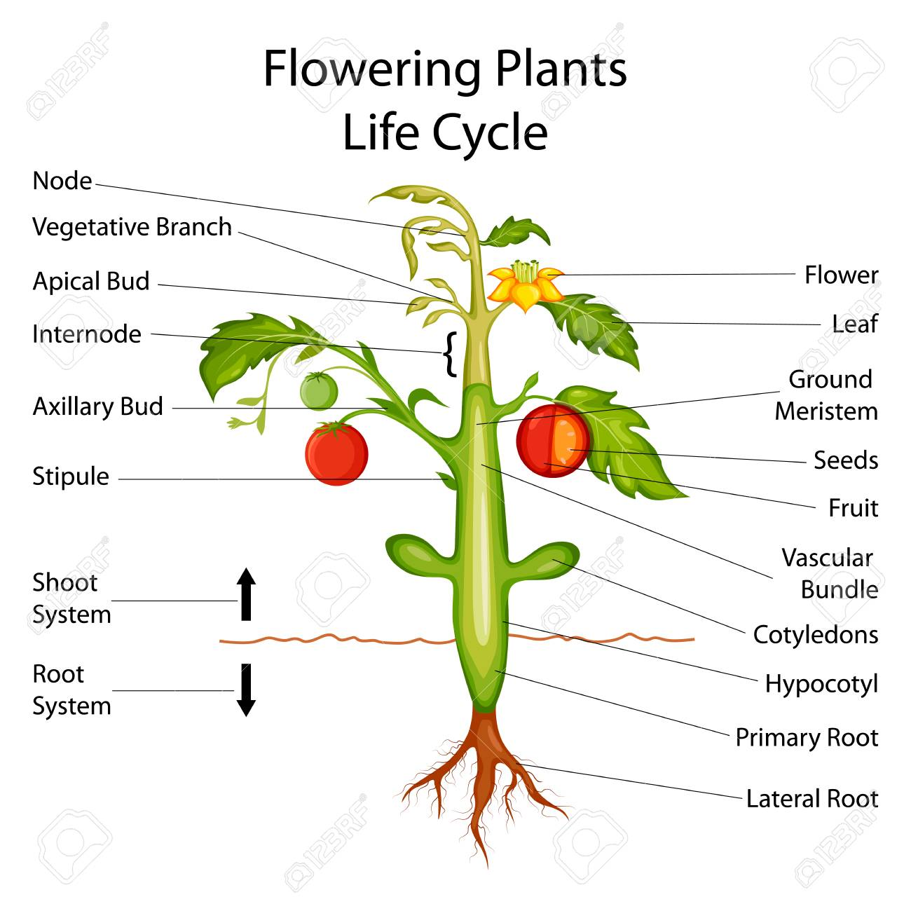 hight resolution of herbaceous stem diagram on wiring diagramherbaceous plant diagram wiring diagram herbaceous monocot dicot stems to label