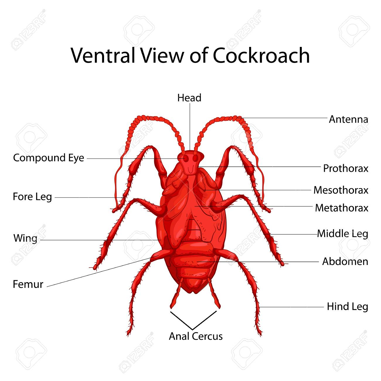 hight resolution of education chart of biology for ventral view of cockroach diagram vector illustration stock vector