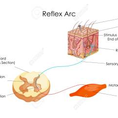 Diagram Of A Simple Reflex Arc 2005 Chevy Trailblazer Wiring Diagrams Control Education Chart Biology For Stock Photo