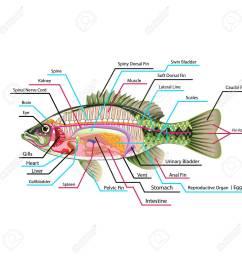 fish internal organs vector art diagram anatomy with labels stock vector 68044504 [ 1300 x 1300 Pixel ]