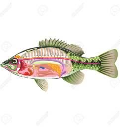 fish internal organs vector art diagram anatomy without labels stock vector 68044486 [ 1300 x 1300 Pixel ]
