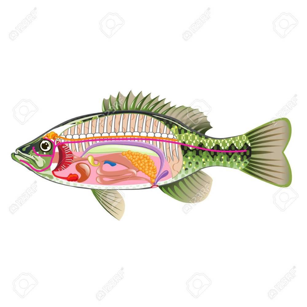 medium resolution of fish internal organs vector art diagram anatomy without labels stock vector 68044486