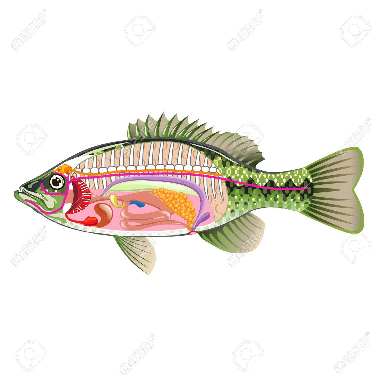 hight resolution of fish internal organs vector art diagram anatomy without labels stock vector 68044486