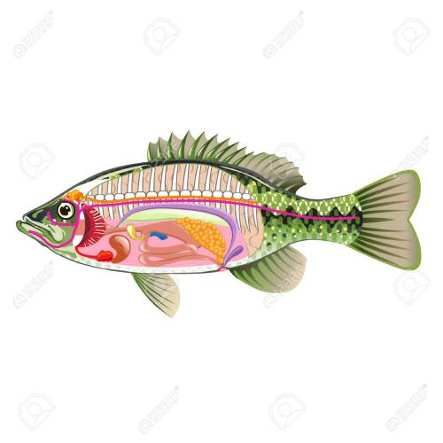 small resolution of fish internal organs vector art diagram anatomy without labels stock vector 68044486