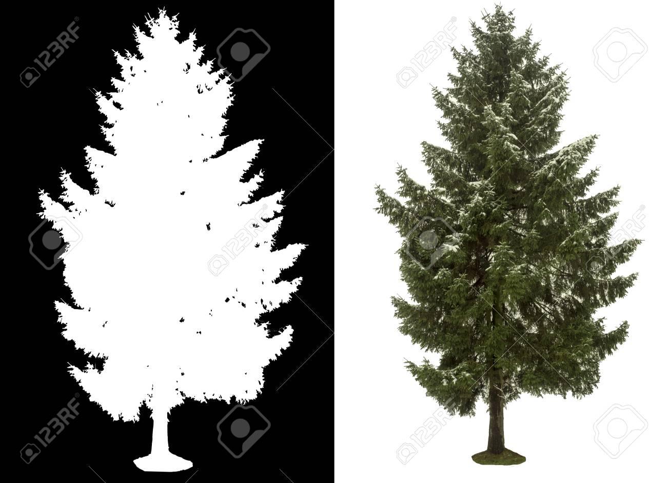 pine tree on white