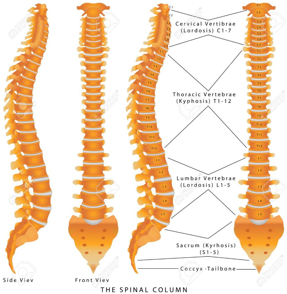medium resolution of the spinal column the spinal column diagram human spine from diagram of spine bone spurs diagram of spine bones