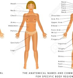 female body front surface anatomy human body shapes anterior view parts [ 1300 x 771 Pixel ]