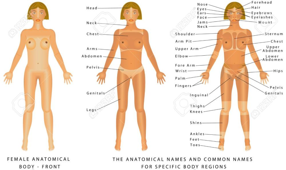 medium resolution of female body front surface anatomy human body shapes anterior view parts