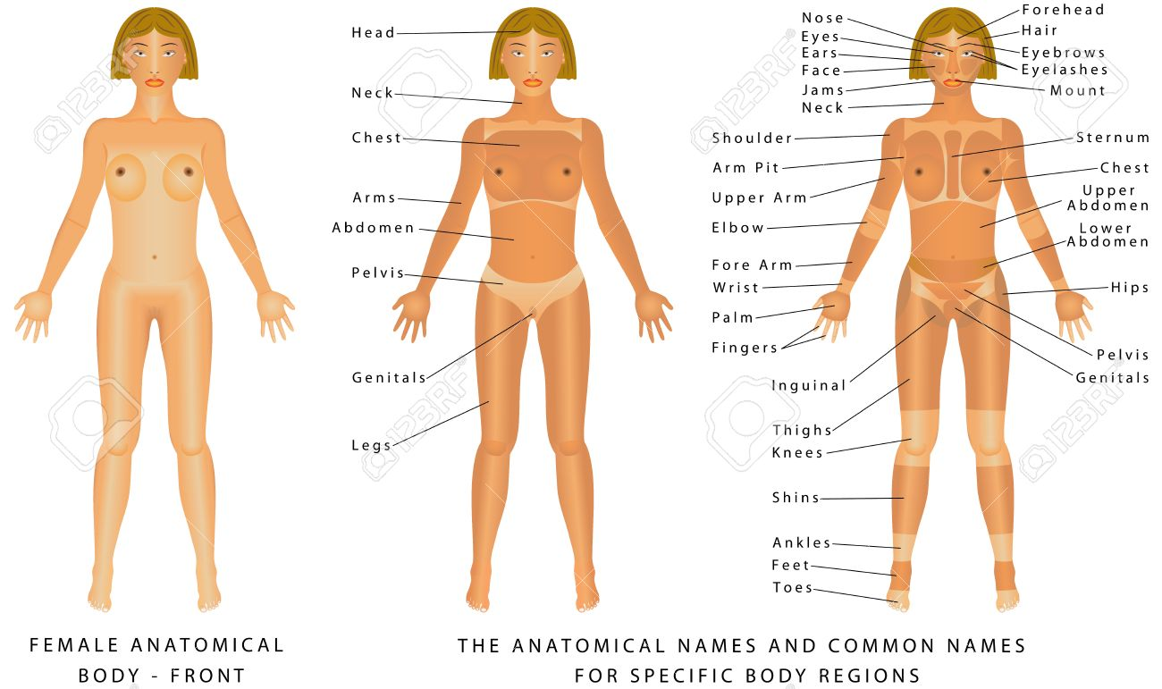 hight resolution of female body front surface anatomy human body shapes anterior view parts