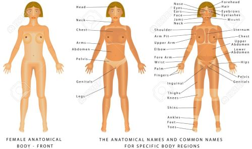 small resolution of female body front surface anatomy human body shapes anterior view parts