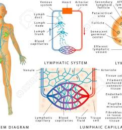 lymphatic system lymphatic diagram in human structure of a lymph node organ of [ 1300 x 716 Pixel ]