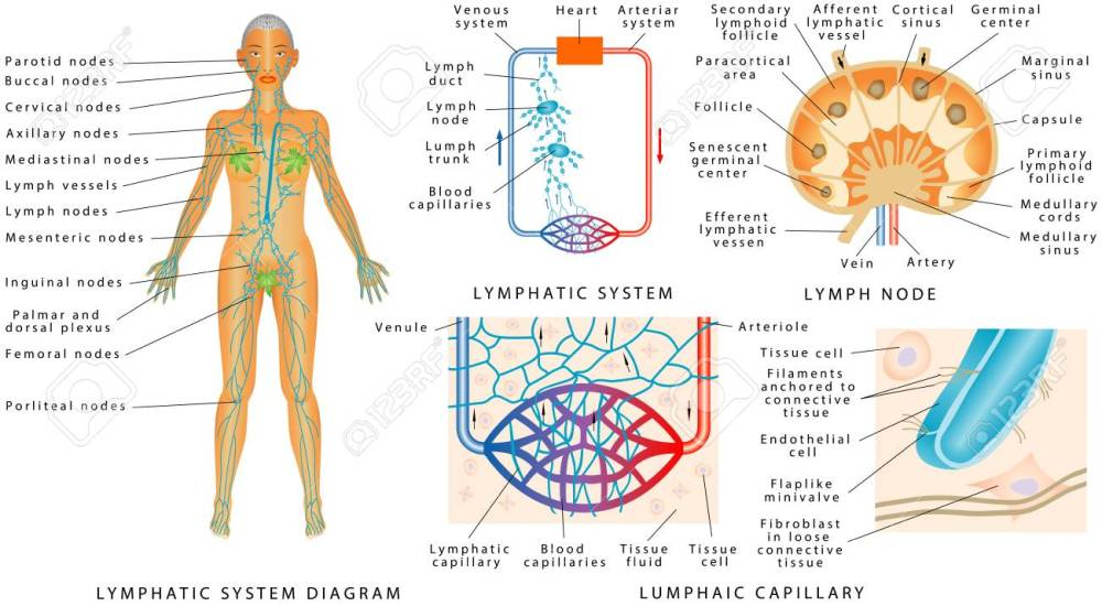medium resolution of lymphatic system lymphatic diagram in human structure of a lymph node organ of