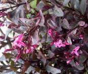 purple leaves pink flowers shrub